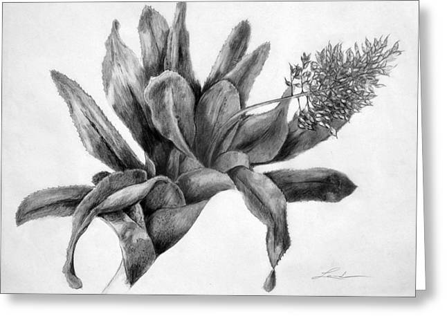 Bromeliad Drawings Greeting Cards - Achmea Greeting Card by Lourdan Kimbrell