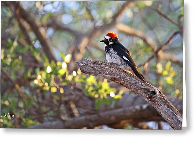 Wildlife Genre Greeting Cards - Acorn Woodpecker on a Branch Greeting Card by Roena King