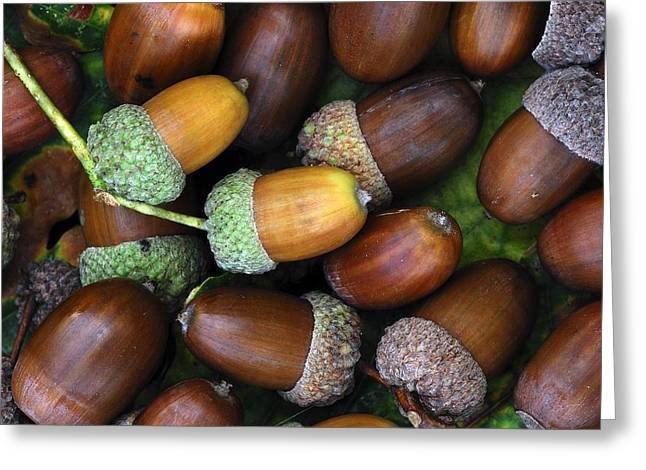 Quercus Greeting Cards - Acorns Greeting Card by Colin Varndell