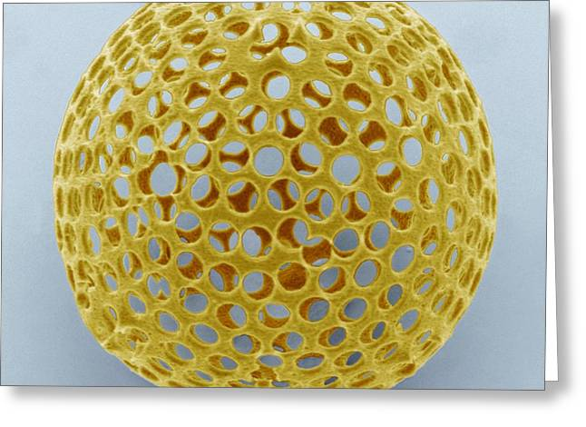 Single-celled Greeting Cards - Acrosphaera Radiolarian, Sem Greeting Card by Steve Gschmeissner