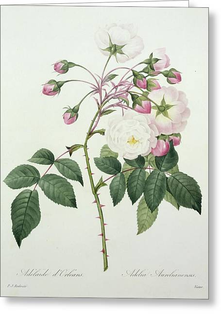 Botanical Greeting Cards - Adelia aurelianensis Greeting Card by Pierre Joseph Redoute