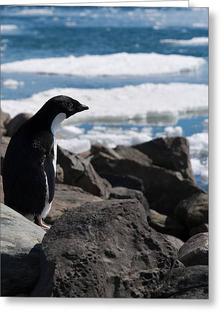 Division Greeting Cards - Adelie Penguin 16 Greeting Card by David Barringhaus