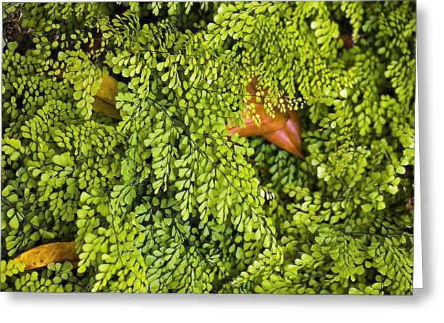 Green Foliage Greeting Cards - Adiantum Venustum Greeting Card by Dr Keith Wheeler