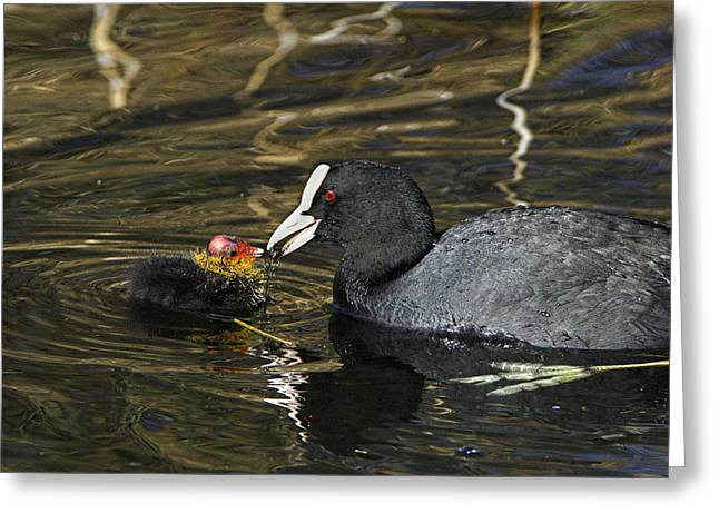 Seventy-two Greeting Cards - Adult Coot Feeding Its Chick Greeting Card by Duncan Shaw