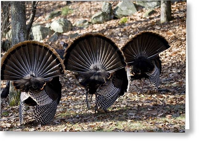 Meleagris Gallopavo Greeting Cards - Adult Male Wild Turkey Meleagris Greeting Card by Tim Laman