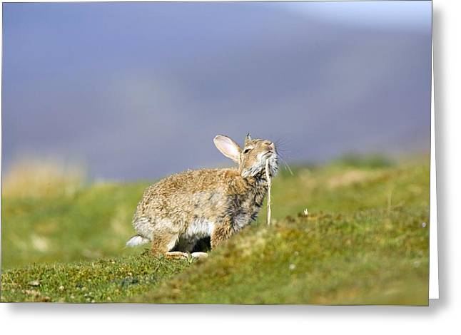 Chin Up Photographs Greeting Cards - Adult Rabbit Marking Scent Greeting Card by Duncan Shaw