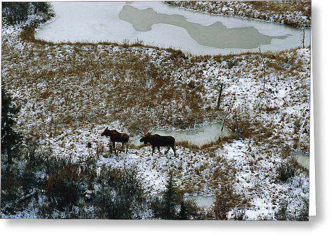 Park Scene Greeting Cards - Aerial Of A Male And Female Moose Greeting Card by Norbert Rosing
