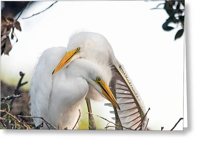 Great Egret Greeting Cards - Affectionate Chicks Greeting Card by Kenneth Albin