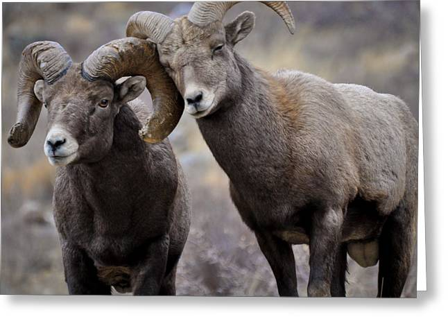 Bighorn Sheep Greeting Cards - Affectionate Rams Greeting Card by Kevin Munro