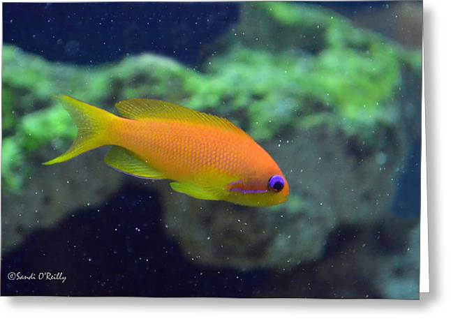 African Anthias Greeting Card by Sandi OReilly
