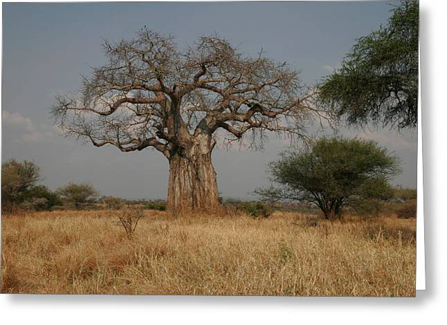 African Baobab Tree In The Tarangire Greeting Card by Gina Martin