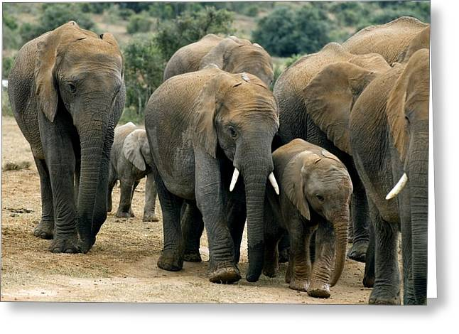 Social Herd Animals Greeting Cards - African Bush Elephants Greeting Card by Peter Chadwick