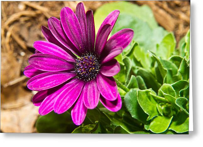 Bellis Greeting Cards - African Daisy 1 Greeting Card by Douglas Barnett