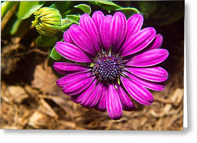 Bellis Greeting Cards - African Daisy 2 Greeting Card by Douglas Barnett