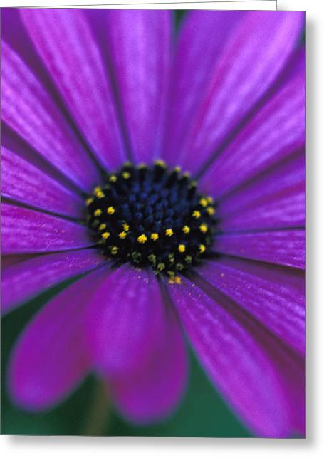 Daisy Framed Prints Greeting Cards - African Daisy  Greeting Card by Kathy Yates