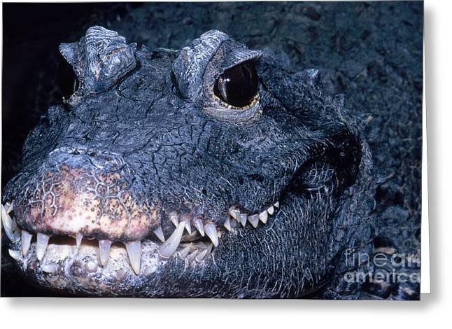 African Dwarf Crocodile Greeting Card by Dante Fenolio