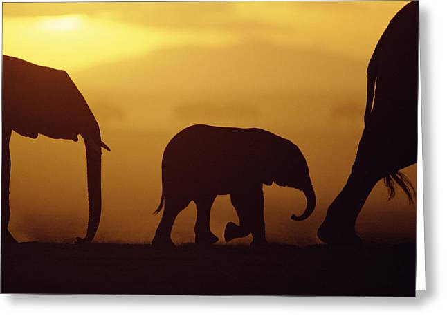 Animals and Earth - Greeting Cards - African Elephant Loxodonta Africana Greeting Card by Karl Ammann