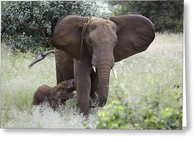 Caring Mother Greeting Cards - African Elephants Greeting Card by Photostock-israel