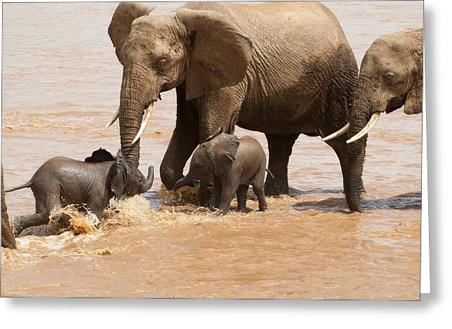 Bonding Greeting Cards - African Elephants Watch Babies Play Greeting Card by Pete Mcbride