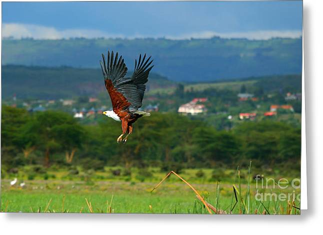 Park Scene Greeting Cards - African fish eagle flying Greeting Card by Anna Omelchenko
