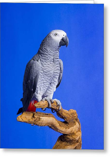 Macaw Profile Greeting Cards - African Grey Parrot Greeting Card by Corey Hochachka
