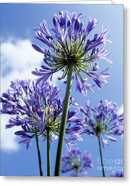 Monocotyledon Greeting Cards - African Lilies (agapanthus Sp.) Greeting Card by Gavin Kingcome