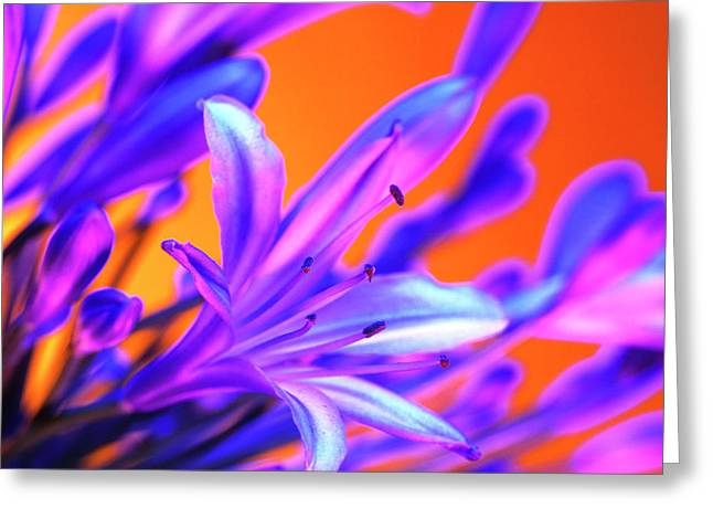 African Lily Greeting Cards - African Lily (agapanthus Sp.) Greeting Card by Johnny Greig
