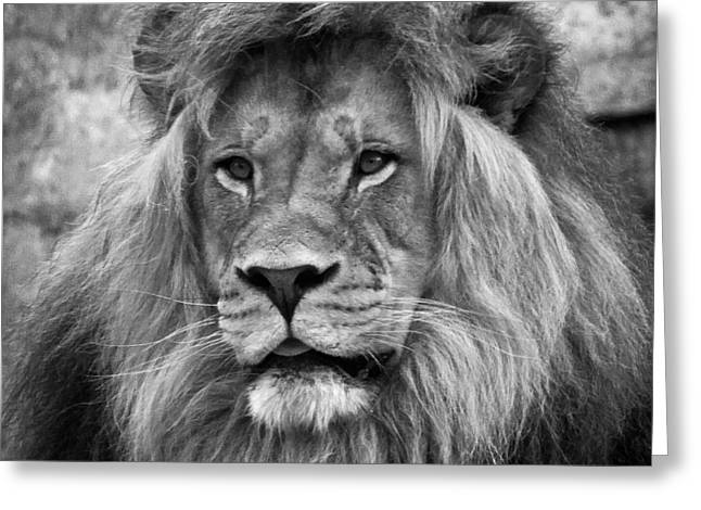 Growling Greeting Cards - African Lion Black and White Greeting Card by Steve McKinzie