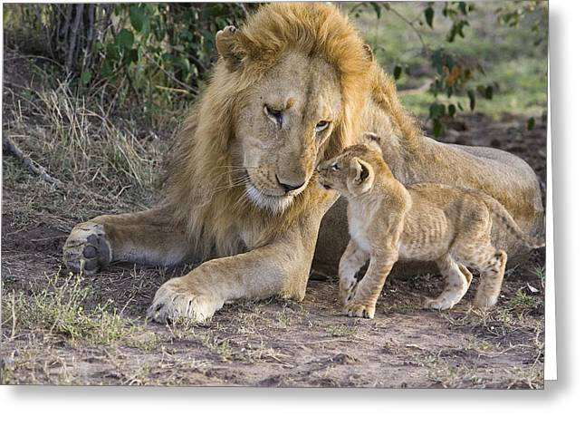 Interacting Greeting Cards - African Lion Cub Approaches Adult Male Greeting Card by Suzi Eszterhas