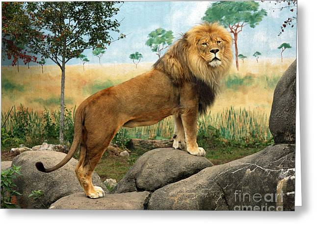 Rosamond Greeting Cards - African Lion Greeting Card by Kathy Eastmond