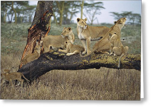 Serengeti Lioness Greeting Cards - African Lion Panthera Leo Family Greeting Card by Konrad Wothe