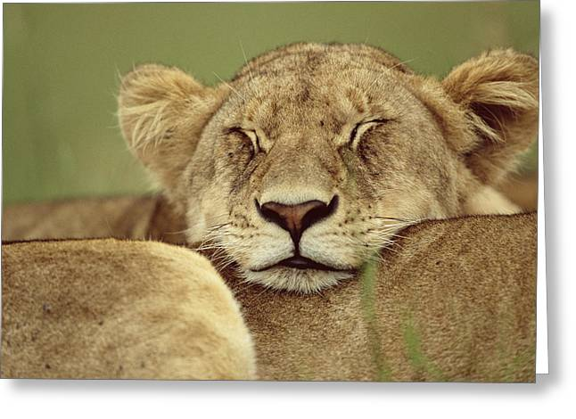 Native African Ethnicity Greeting Cards - African Lion Panthera Leo Resting Head Greeting Card by Anup Shah