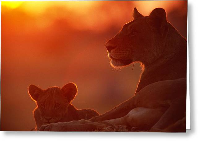 Animal Life Cycles Greeting Cards - African Lions Panthera Leo -- Female Greeting Card by Beverly Joubert