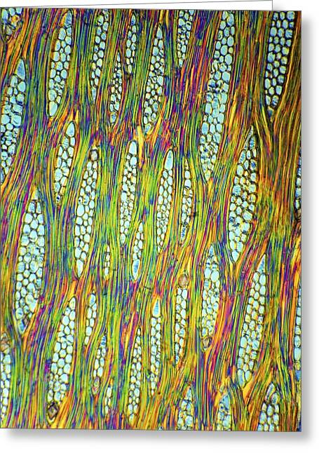 African Mahogany Stem, Light Micrograph Greeting Card by Dr Keith Wheeler