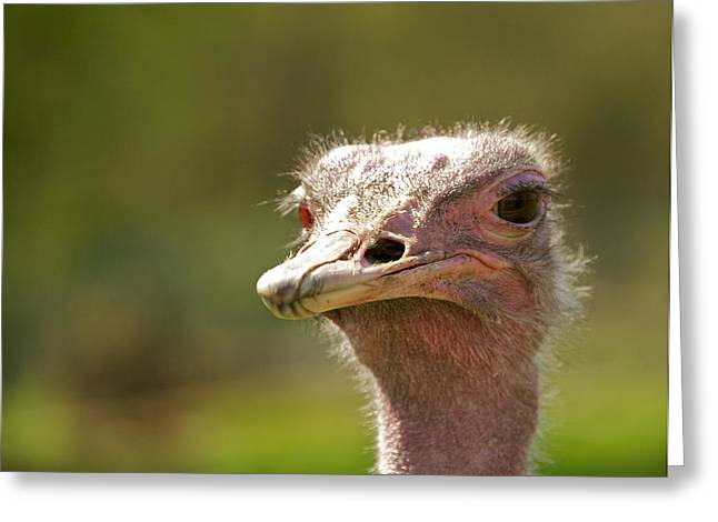 Ostrich Feathers Photographs Greeting Cards - African Ostrich Greeting Card by Ivan SABO
