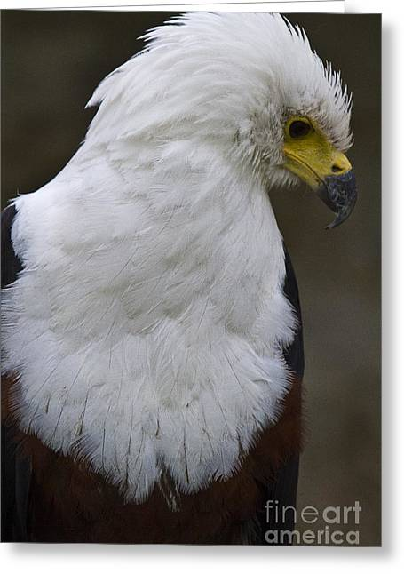 Birds Pyrography Greeting Cards - African sea eagle 5 Greeting Card by Heiko Koehrer-Wagner
