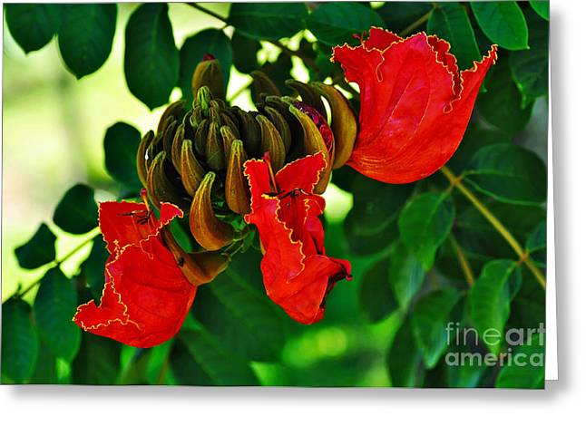 African Tulip Tree Greeting Card by Kaye Menner
