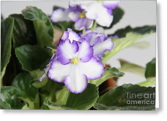African Violets Greeting Cards - African Violet Greeting Card by Photo Researchers, Inc.