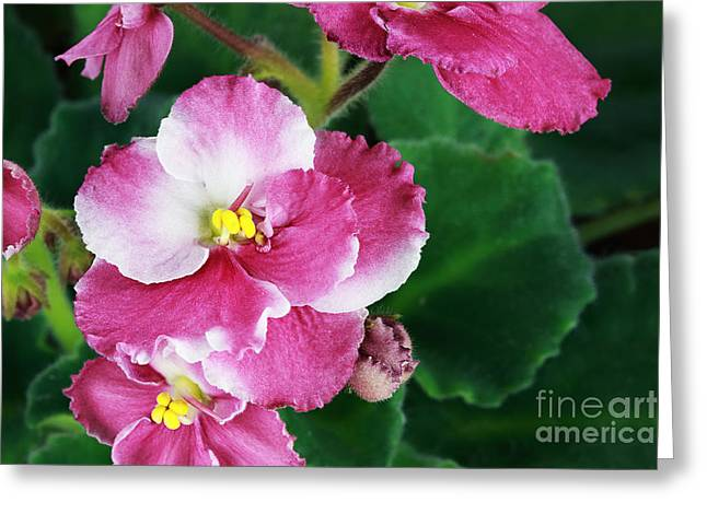 African Violets Greeting Cards - African Violet Greeting Card by Stephanie Frey