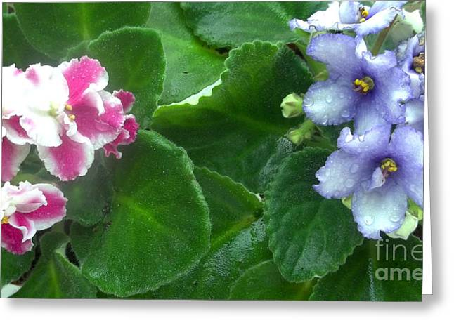 African Violets Greeting Cards - African Violets Intertwined I Greeting Card by Nancy Mueller