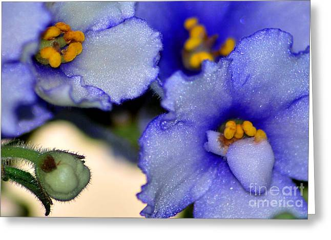 African Violets Greeting Cards - African Violets Study 1 Greeting Card by Nancy Mueller