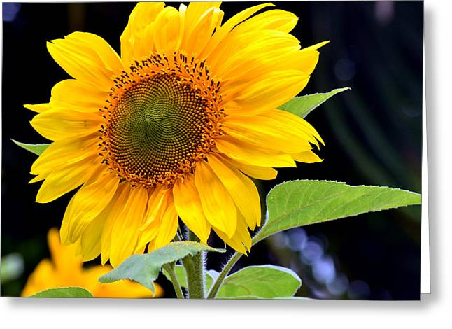 Yellow Sunflower Greeting Cards - Against The Shadows Greeting Card by Fraida Gutovich
