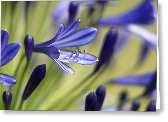 Agapanthus Greeting Cards - Agapanthus regal Beauty Greeting Card by Adrian Bicker