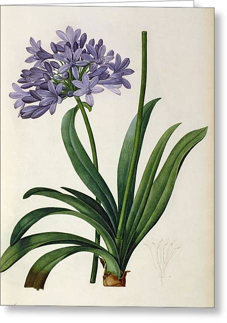 Coloured Flower Greeting Cards - Agapanthus umbrellatus Greeting Card by Pierre Redoute