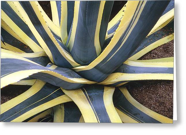 Rosette Greeting Cards - Agave Americana marginata Greeting Card by Vaughan Fleming