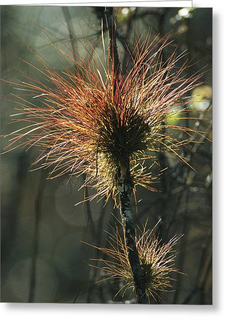 Epiphyte Greeting Cards - Air Plants Adorn A Tree In South Greeting Card by Klaus Nigge