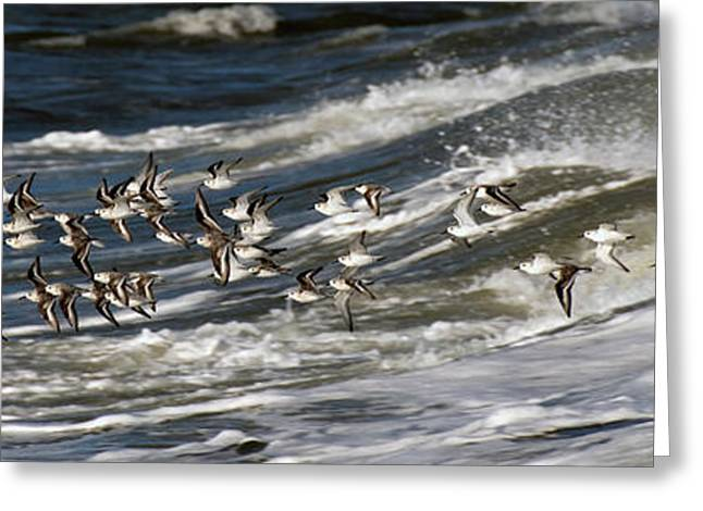 Tern Greeting Cards - Air Surfing Greeting Card by S Paul Sahm