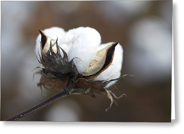 Harvestime Greeting Cards - Alabama Cotton Greeting Card by Kathy Clark