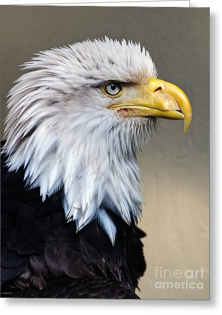 Protrait Greeting Cards - Alaskan  Bald Eagle Portrait Greeting Card by Jim Chamberlain