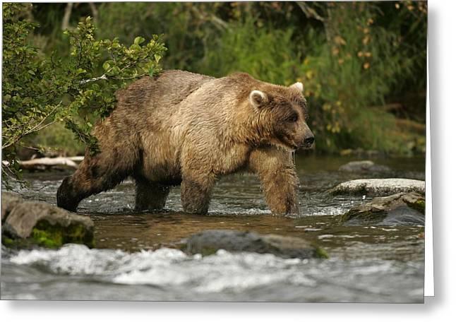 Alaskan Brown Bear Ursus Arctos Walking Greeting Card by Roy Toft